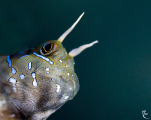 Blenny at the edge ;-) by Rico Besserdich