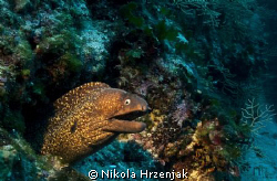 Beautiful Moray keeps your hole by Nikola Hrzenjak