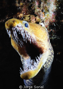 Fangtooth moray eel in a night dive by Jorge Sorial