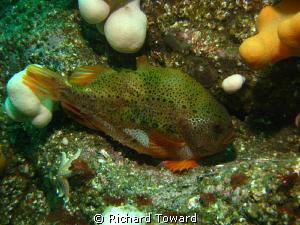 Female Lumpsucker off St Abbs Head by Richard Toward