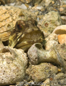 Jawfish with eggs. by Jeri Curley
