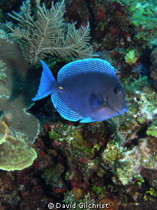 Atlantic Blue Tang -Surgeonfish sp. Roatan-SeaLife DC 1000 by David Gilchrist