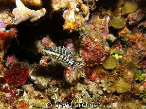 Harlequin Bass-Roatan, SeaLife DC 1000 by David Gilchrist