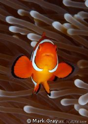 Clown Anemonefish by Mark Gray