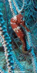 Roatan Sea Horse by Kent Keller