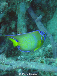 Queen Angelfish in the waters of St. John, USVI by Mark Reasor