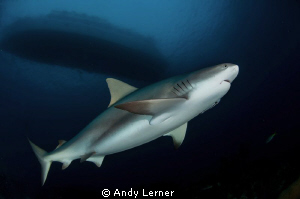 Pregnant caribbean reef shark under the T&C Agressor by Andy Lerner