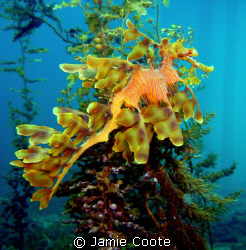 """""""Home on the Reeds"""" A large Leafy Sea Dragon ao Tumby Ba... by Jamie Coote"""