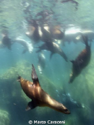 sea lions carnival by Marco Caraceni
