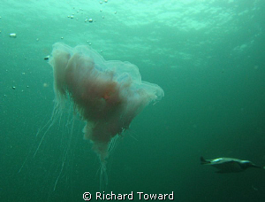Jelly Fish in open Water with Gulliemot diving in the bac... by Richard Toward