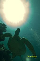 Turtle @ Sipadan   by Taco Cheung