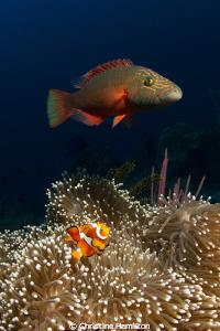 Do Wrasse Eat Anemonefish?? by Christine Hamilton