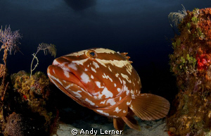 Friendly grouper by Andy Lerner