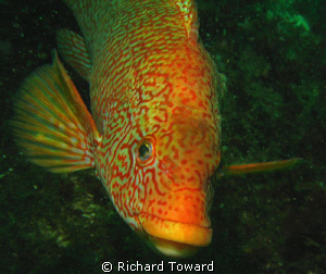 Ballan Wrasse off St Abbs Head Scotland by Richard Toward