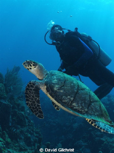Turtle Encounter,Roatan Honduras-SeaLife DC 1000/ by David Gilchrist