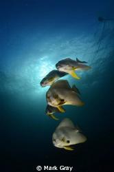 Batfish at the mooring line by Mark Gray