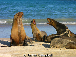 Galapagos Conversation :) The Galapagos sea lions are ve... by Jackie Campbell