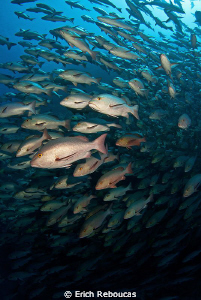 Rush hour - Snapper spawning by Erich Reboucas
