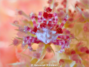 """Soft Coral """"Candy"""" Crab. Canon 1Ds MarkII, EF 100 f/2,8 ... by Aleksandr Marinicev"""