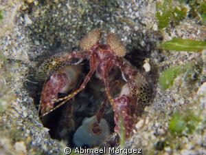 Mantis shrimp by Abimael Márquez