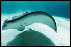 Southern Stingray, Grand Cayman. by Matthew Fischbach