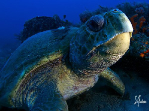 This image of a Loggerhead Turtle was taken during a dive... by Steven Anderson