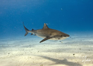 Tiger Sharks at Tiger Beach always have an eye on us as w... by Steven Anderson