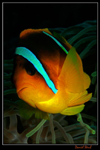 Close-up of a clown-fish :-D by Daniel Strub