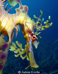 """""""Watching Spot"""" Facial closeup of a Leafy Sea Dragon. A... by Jamie Coote"""