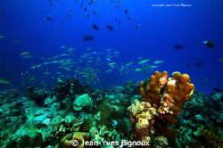 Mauritian Reef Balaclava 22 metres West Coast Mauritius ... by Jean-Yves Bignoux