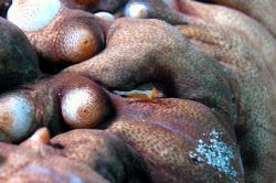 Periclemes imperatorin a sea cocumber. Puerto Galera, Phi... by Ugo Gaggeri