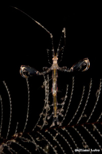 Skeleton Shrimp (Posing With Open Arms) by William Loke