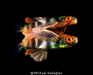 Juvenile flying fish its own reflection surface Indonesia