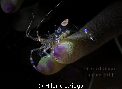 Spotted Cleaner Shrimp, using snoot by Hilario Itriago