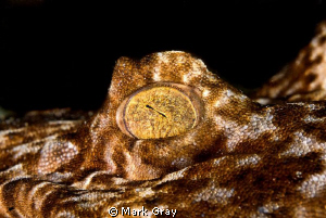 """The all seeing eye"". Photo of a Wobbegongs eye by Mark Gray"