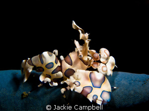 My first Harlequin shrimp. Canon S90 with Inon close up l... by Jackie Campbell