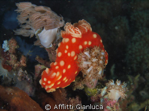 nudibranchia by Afflitti Gianluca