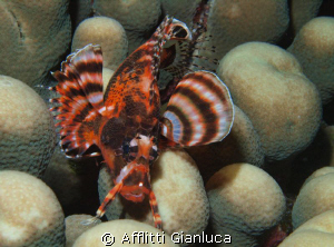 little lion fish by Afflitti Gianluca