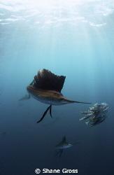 Atlantic Sailfish feeding off Isla Mujeres. Nikon D90, To... by Shane Gross