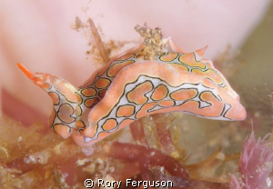 psychedelic sagaminopteron, only a few mm in size by Rory Ferguson