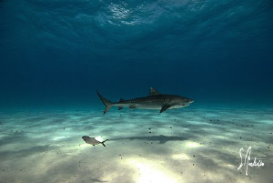 This Tiger Shark has figured out the easiest way to appro... by Steven Anderson