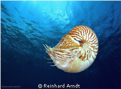 - Nautilus - Nautilus belauensis, also known as the Pala... by Reinhard Arndt