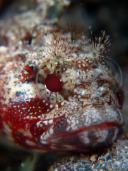 Portrait of Miss Downy blenny...Apnea shoot with canon g1... by Durand Gerald