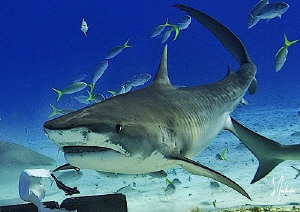 Back for more action this Tiger Shark made several attemp... by Steven Anderson