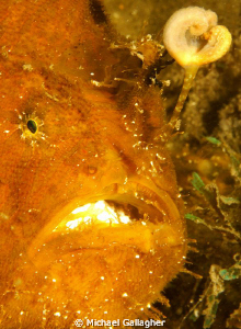 "The aptly named ""pom-pom"" frogfish (or anglerfish as we A... by Michael Gallagher"