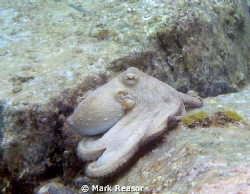 Common octopus on the move. by Mark Reasor