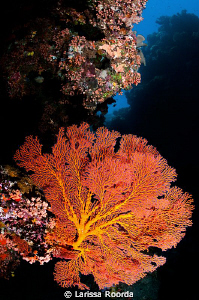 Coral Sea Fan by Larissa Roorda