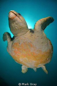 """""""Reach for nthe Sky"""". Loggerhead Turtle swimming to the s... by Mark Gray"""