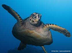 hawksbill turtle by Alex Zeni