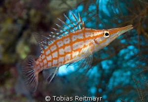 Longnose Hawkfish, Red Sea Wall, Hurghada. Canon EOS 350d... by Tobias Reitmayr